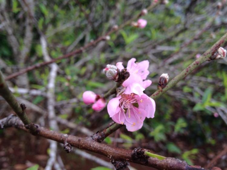 Đào muộn vẫn lẫy nên sắc hồng cứ vậy...