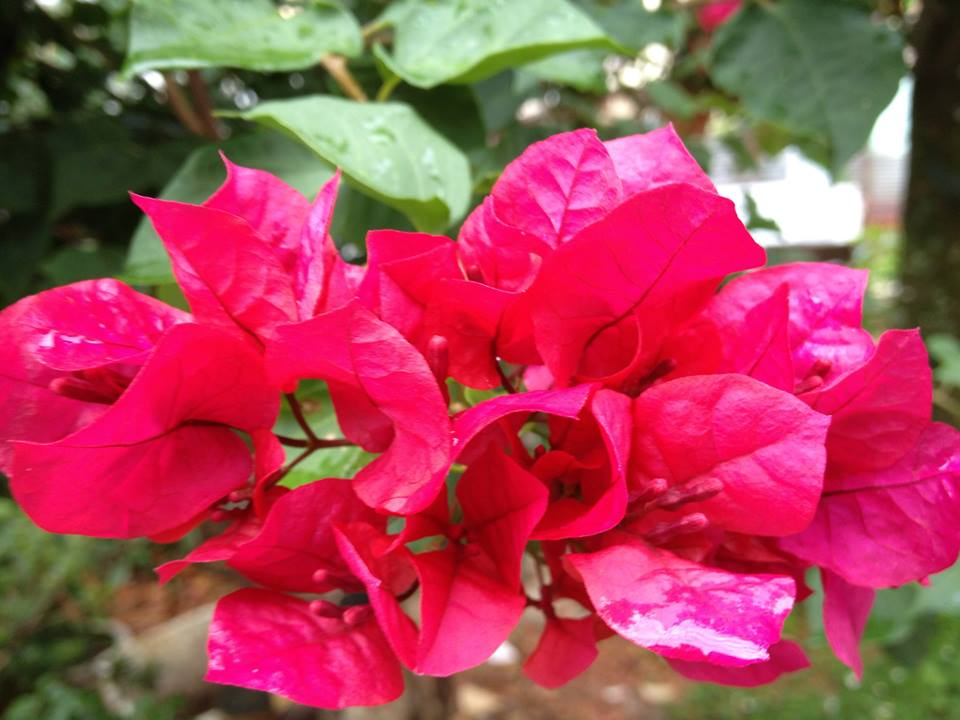 Hoa bông giấy không nhàu như trang giấy