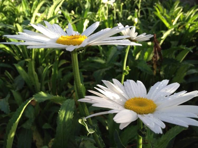 Hoa cúc trắng giục lòng anh yêu em thầm lặng, mùa thu rồi đồi núi trập trùng xanh