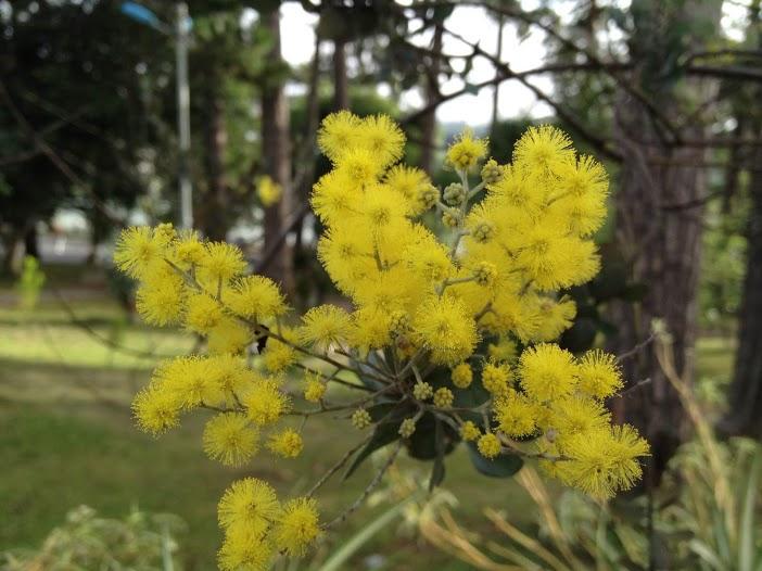 Mimosa đã lạ hóa những mi môi xa từng đóa...